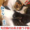 先住猫のお乳を吸う子猫!まだまだ親離れ出来ない!【生後3ヶ月】動画もあり!