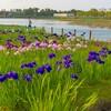 乙戸水生植物園のアヤメと藤棚(土浦市)~つくば市とその周辺の風景写真案内(409)