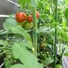 色づくミニトマト、感慨にふける