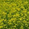 江戸川の菜の花ロード #江戸川 #サイクリングロード #春