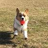 犬が空を飛ぶ!?飛行犬!ネットでかわいいと評判に