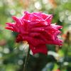 雨露が光る靭公園の秋バラ