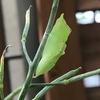 家庭菜園 ~緑色の幼虫、実はモンシロチョウの幼虫だった~