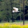 田んぼに飛来したチュウサギ