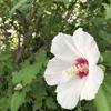 梅雨の終わり頃から咲きだします木槿(ムクゲ)の花です。