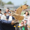 鷹よりマイペースなフクロウちゃん - 天平祭