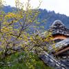 京都・嵐山 - 天龍寺三秀院の山茱萸