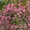 馬見丘陵公園梅林(2月上旬~3月中旬)