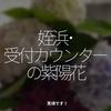 1315食目「姪浜・受付カウンターの紫陽花」見頃です!