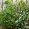 お野菜、初収穫!!