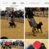甲斐犬サン、回復するの巻〜ファイトーー!( ゚ロ゚)乂(゚ロ゚ )イッパーーツ!!