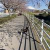 【由無し事】何故か遅い「桜堤」の桜の満開