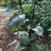 初心者の家庭菜園 雨の次の日の野菜の成長は凄まじい
