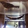 スズメ、新年初の体重測定に臨む
