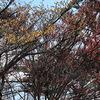里山「赤花マンサク」満開です♪