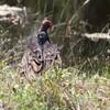 ヒメコンドル(Turkey Vulture)