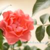ビギナーロザリアン 「感激、12個も咲いてます。」