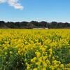菜の花:高秀牧場