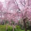 花の楽園、原谷苑
