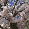 【花粉症】 桜並木と花粉症