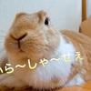 【ミニウサギのサスケ先輩】うさぎ飼育初心者必見!? うさぎの換毛期のピンチはブラッシングで切りぬけろ!!!