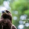 二十四節気七十二候 「小暑 鷹乃学習」(2017/7/17)