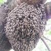 ニホンミツバチ逃亡か?