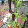 私と植物:     ミニトマト植え の巻