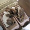 キジトラ猫 避妊手術。