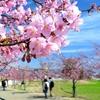 馬見丘陵公園(22)梅と桜の花回廊開催!!