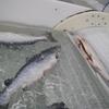 魚スケートリンクの失敗に怯えるな!魚は面白いコンテンツである!