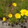 道端に咲く花、オオキンケイギクの意外な事実