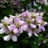 ブラックベリーの花 2012 5月
