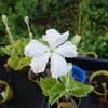 畑の花々~ひょうたんの白い花が咲いた~