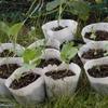 ブロッコリー密植