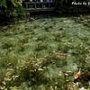 日本 日本版モネの池