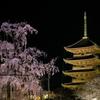 東寺の桜が満開