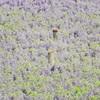 No.102『藤の花畑』