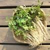 セリ(水斳 スイキン)の花言葉と効能~春の七草の一つ~