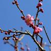 梅の開花と『とんテキTWINS』