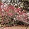 梅といえば、和泉式部。