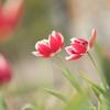 冬チューリップ 花菜ガーデン