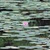 芦屋地獄谷から横池に睡蓮を見に行こう