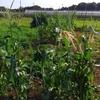 【オルかな農園報告⑫~台風後でも畑は頑張ってくれた!たっぷり収穫~】