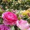 5月の四季の香ローズガーデンに行ってきました