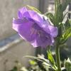 🌸八重咲きカンパニュラ開花🌸
