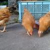鶏小屋、爆誕。
