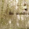 閑話休題:北九州市八幡西区吉祥寺に藤を見に行きました
