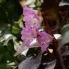 植物と友達になろう! VOL.04 「イワウチワ」