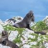 【カイコウラ観光】これが野生のオットセイ。【必ず会える場所はここ】